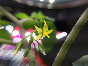 The first martian world smallest tomato flower.